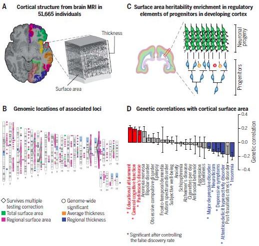 5万个人脑磁共振数据分析,揭示大脑皮层结构的