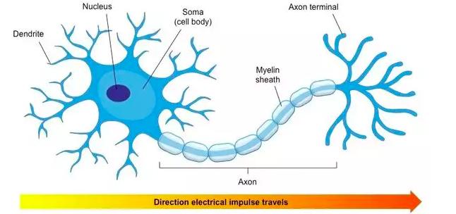 人工神经网络真的像神经元一样工作吗?